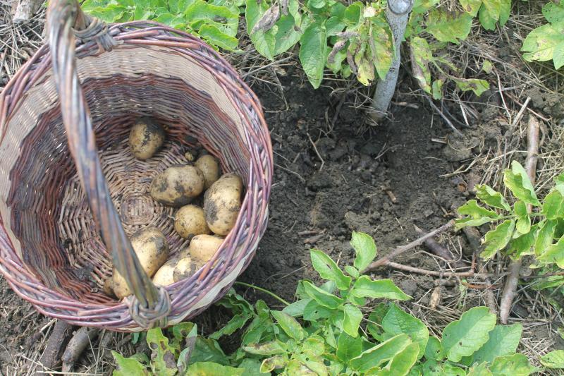 http://tricofolk.free.fr/Divers/jardin/recolte-pommes-de-terre.jpg